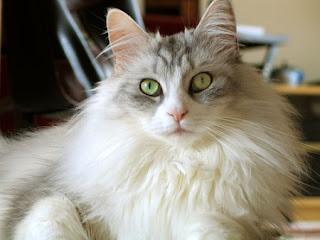Siamese Cat Pictures