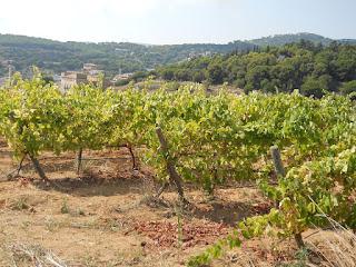 plantas de vid en un viñedo