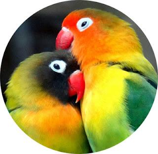 mengenal lebih dekat burung loverbird yang berubah menjadi