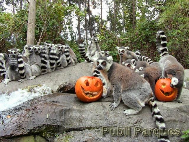 lémures y calabazas de Halloween en Faunia