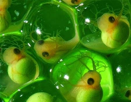 Reproducci n en vertebrados tipo de huevo for Reproduccion en peces