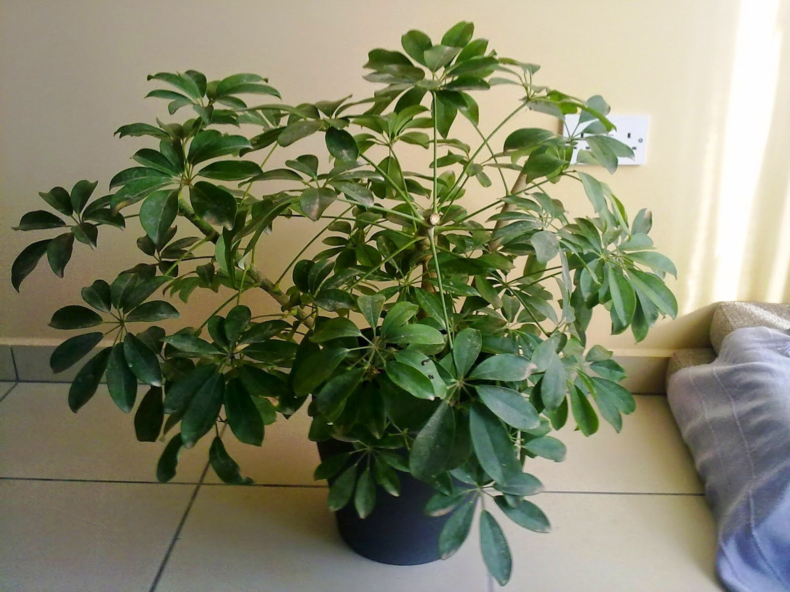 The umbrella plant who gets homesick green patches for House plant maintenance