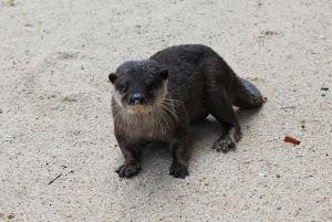 Palawan River Otter