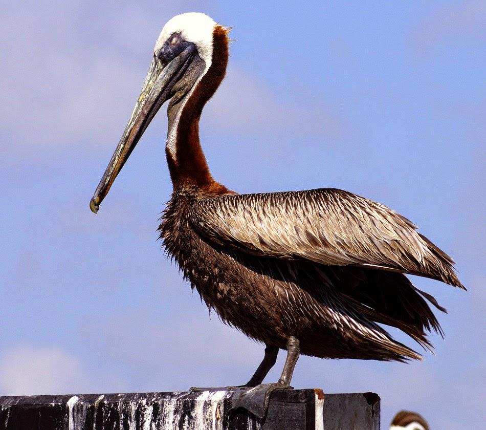 Brown Pelican on dock