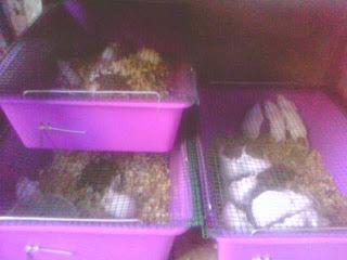 jual tikus putih surabaya