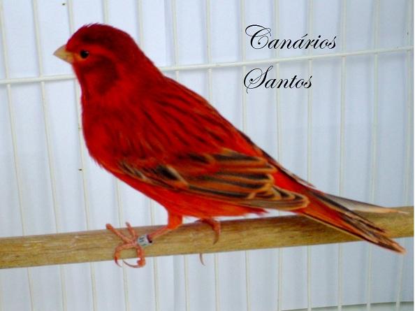 Canarios Santos