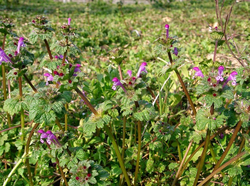 Bonnes croquer ces surprenantes mauvaises herbes for Le jardin de violette