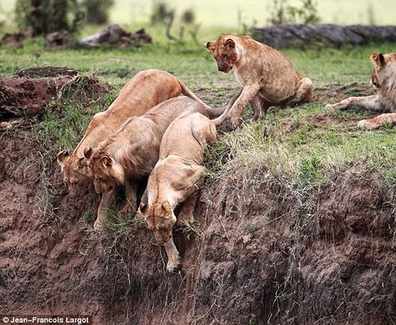 leonas intentan salvar a cachorro