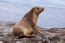 تعرف على حيوان أسد البحر من عالم الحيوان Sea Lion