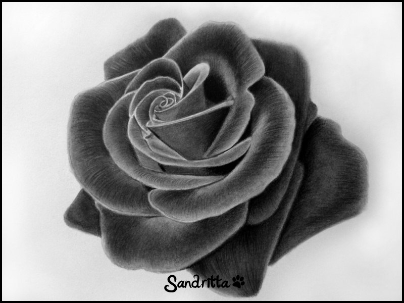 Drawings of sandrii kiss from a rose for Cool rose drawings