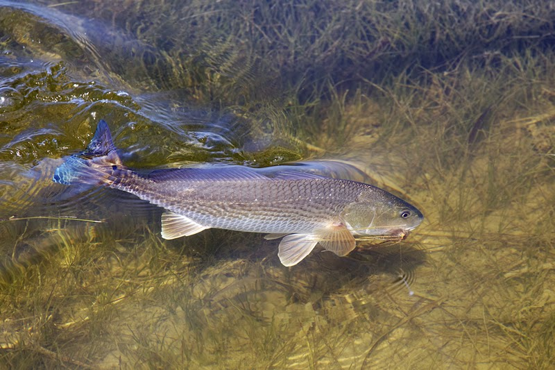 Upper fl keys fishing report for november 18 get out on for Red fish hilton head