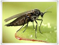 Gnat Animal Pictures