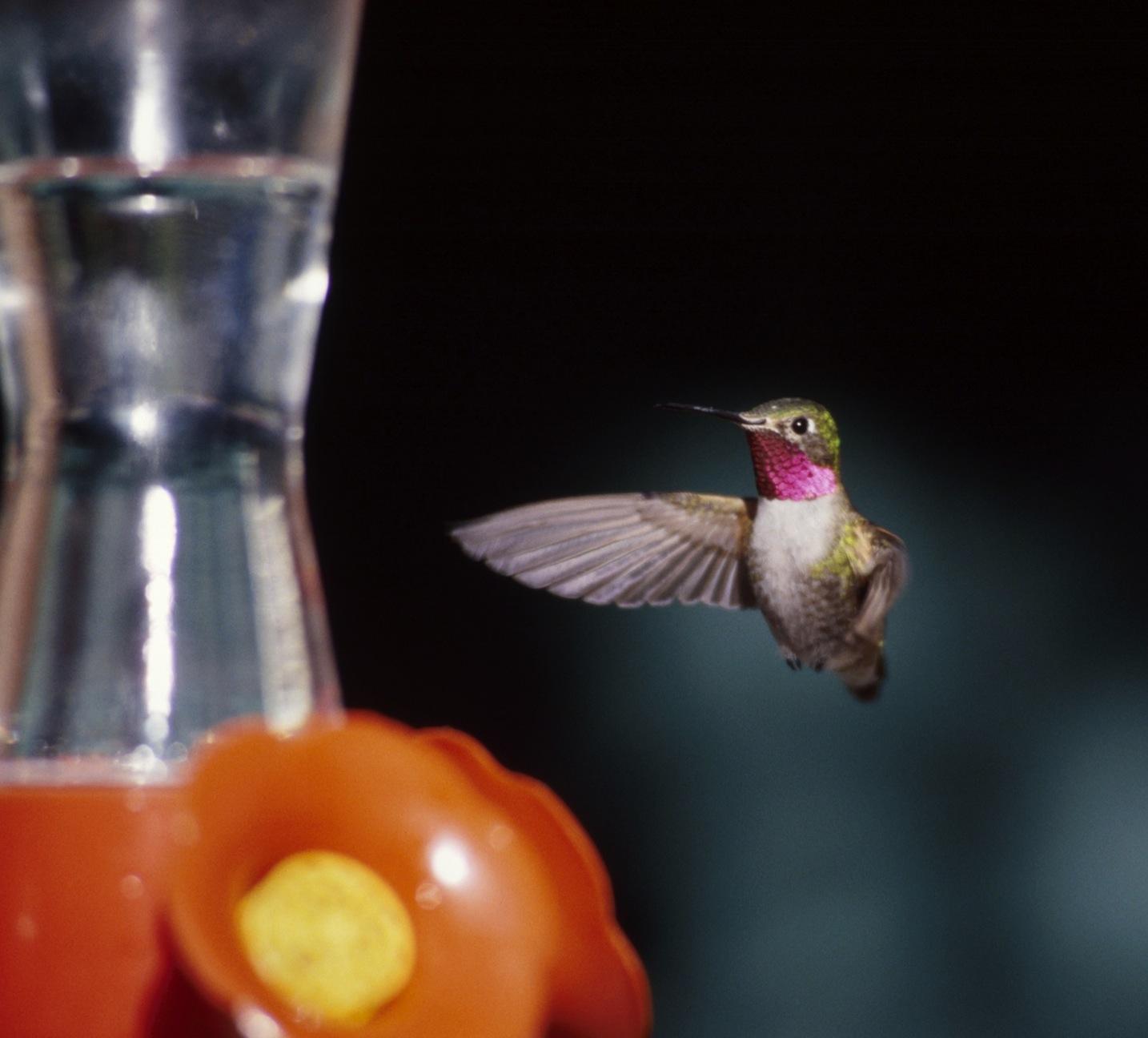 bethlehem birdman u0027s tips tips for attracting hummingbirds to your