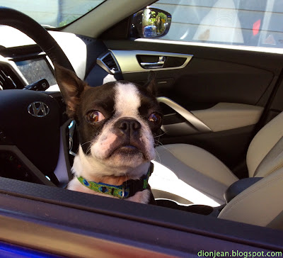 Boston terrier in a hot car with the windows rolled down