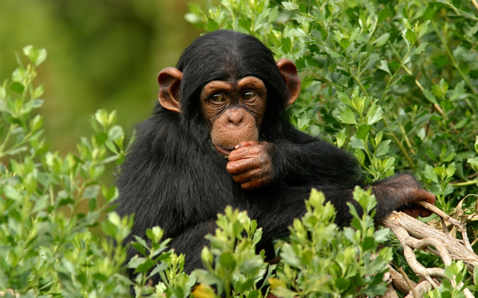 Chimpanzee Branch