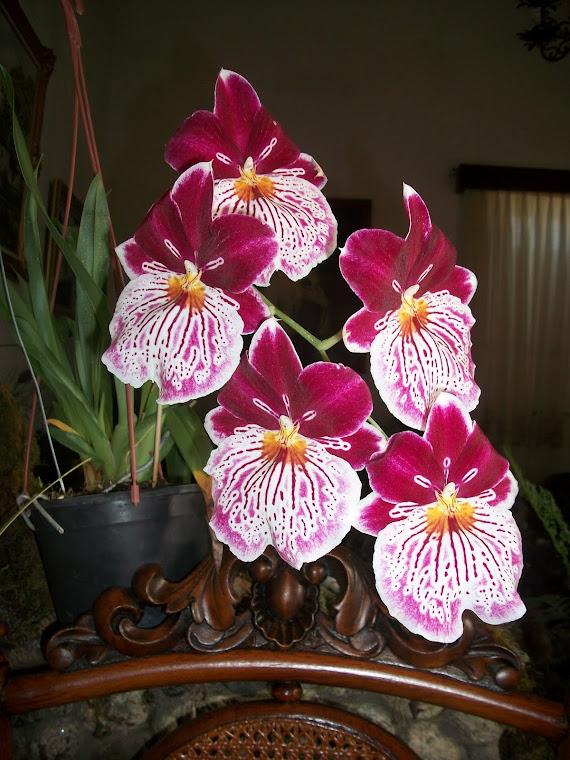 Flores Coromotanas