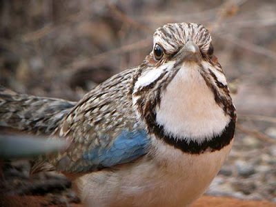 long tailed Ground Roller 4