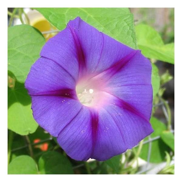 Ipom e flore de l le de la r union for Entretien jardin reunion