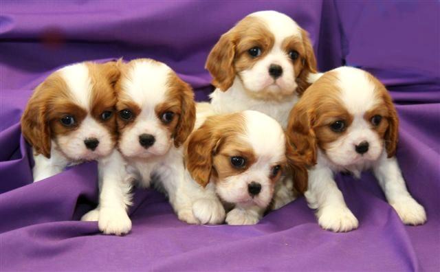 cavalier_puppies.21642944_std.jpg
