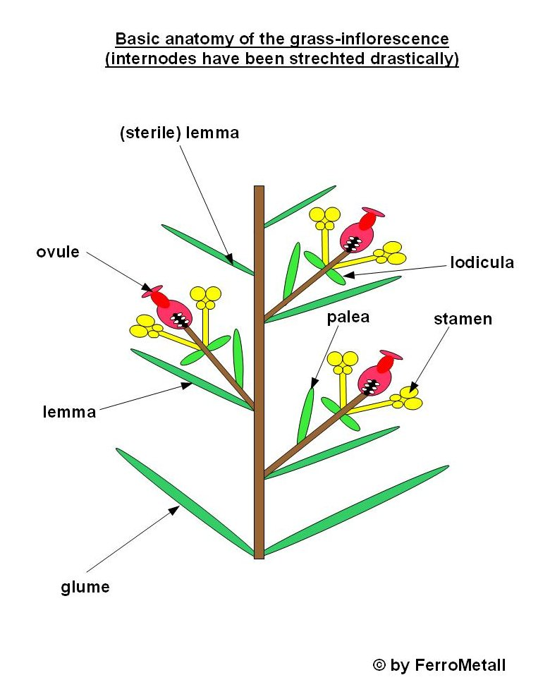 Grass Flower Anatomy