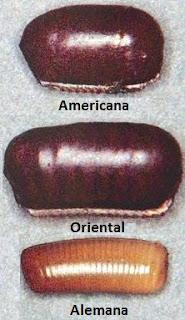 Cápsula para los huevos de la cucaracha americana, oriental y alemana