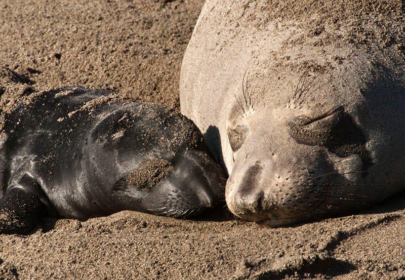 funny animals: Baby Elephant Seals