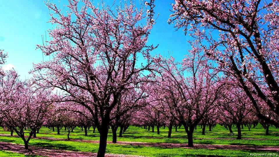 White MulbErry (morus alBa) apricot_BlossOm in heaven GilgiT balti