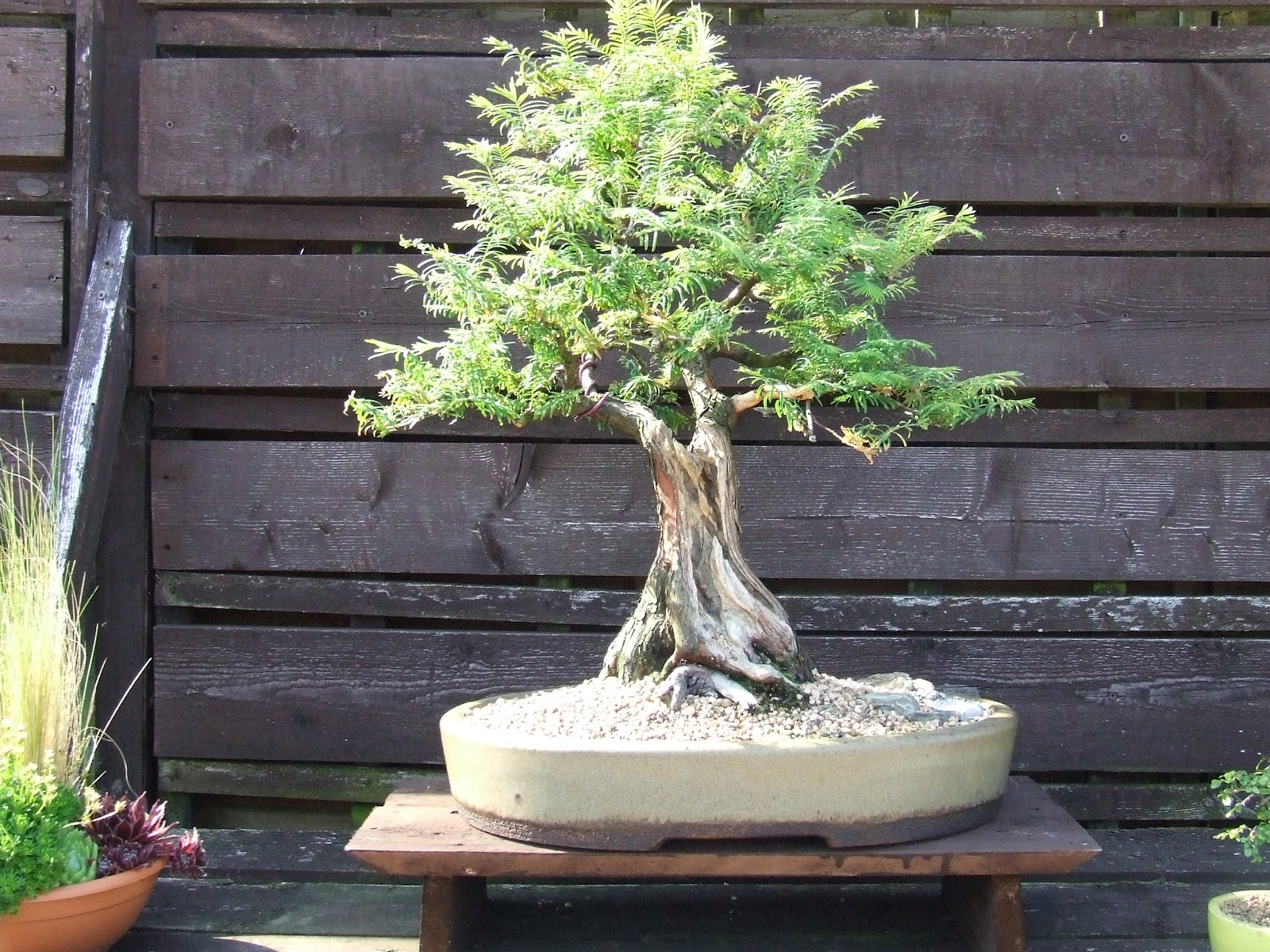 Ronin Bonsai More Of My Tree39s