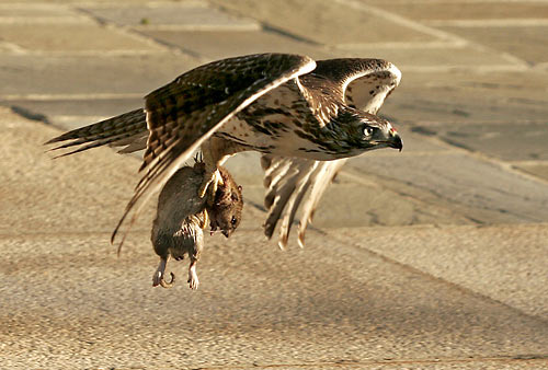 Can A Red Tailed Hawk Pick Up A Cat