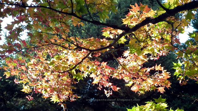 amazing autumn colors of maple foliage