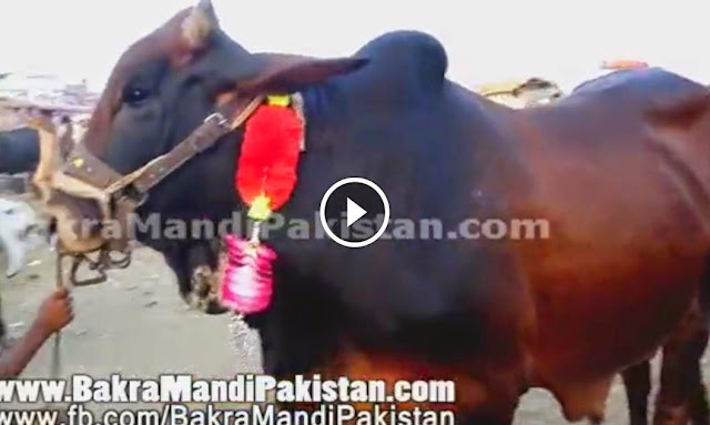 Child with His Bull For Qurbani 2014 Selling in Cow Mandi 2014 For Eid 2014 2013, Child with His Bull For Qurbani 2014 Selling in Cow Mandi 2014 For Eid 2014 2014, shah cattle farm 2013, shah cattle farm 2014,  cattle farming in pakistan, shah cattle farm 2014,