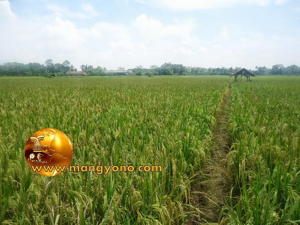 FOTO : Tanaman padi di sawah Bakan Bandung sudah mulai menguning