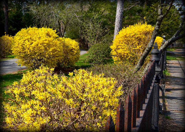 forsythia, beautiful, bushes, iron fence, cemetery