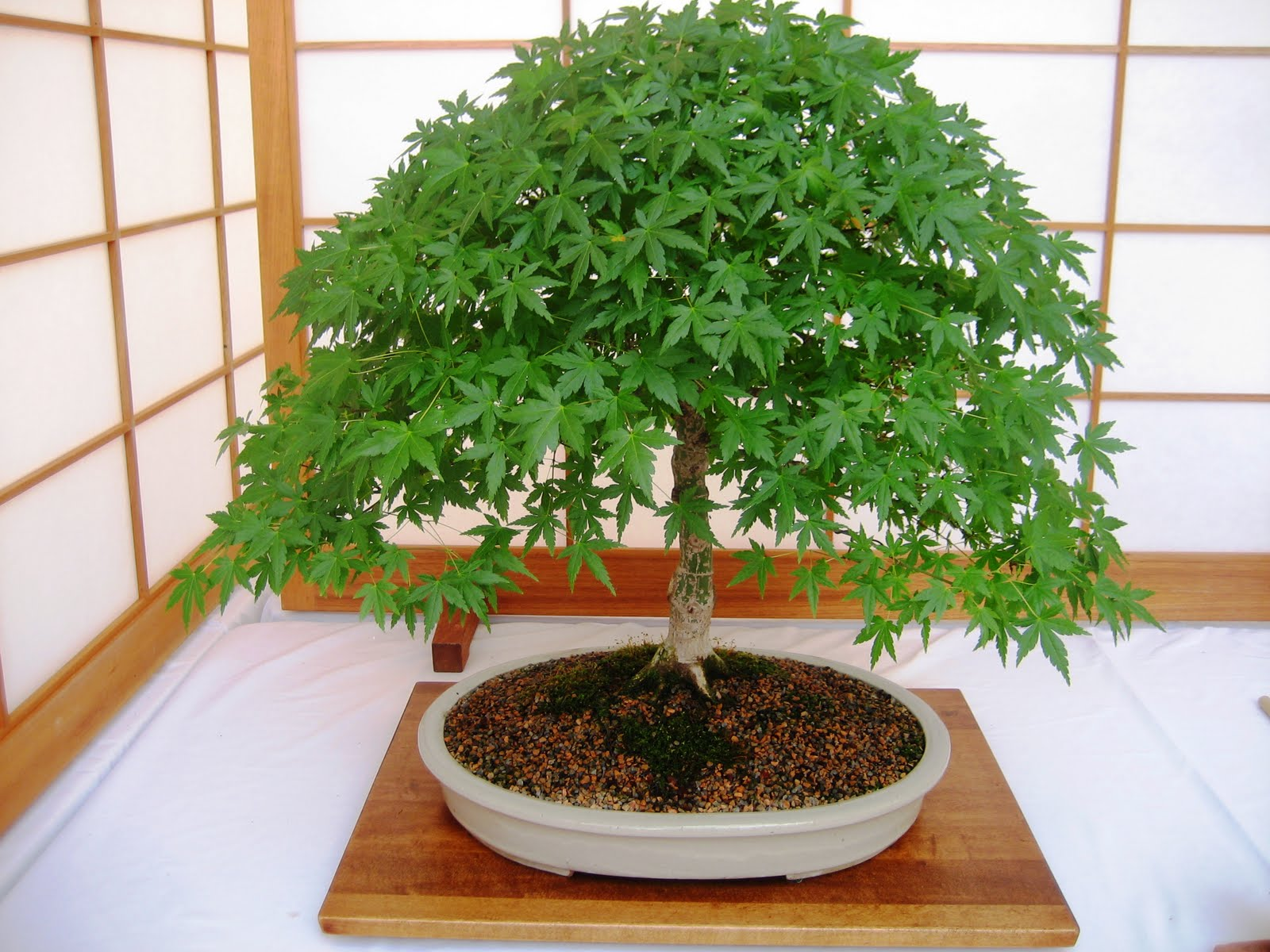 The Internet Is Chewing Gum For The Eyes Bonsai Bonanza