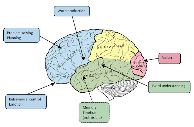 Brain Diagram And Functions2