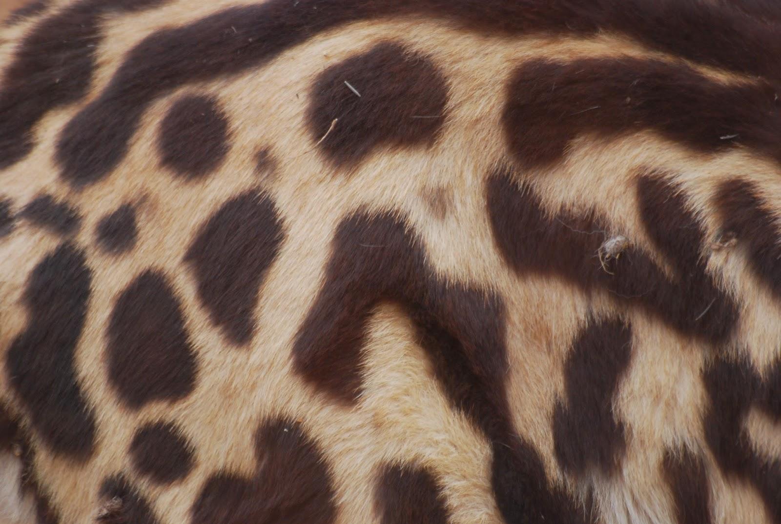 Cheetah Fur Close Up ShukerNature: T...