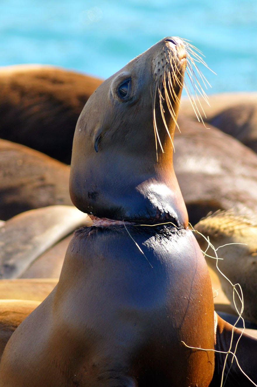 #11 Suffering Seal Not Safe In Its Own Habitat - 22 Heartbreaking Photos Of Pollution That Will Inspire You To Recycle