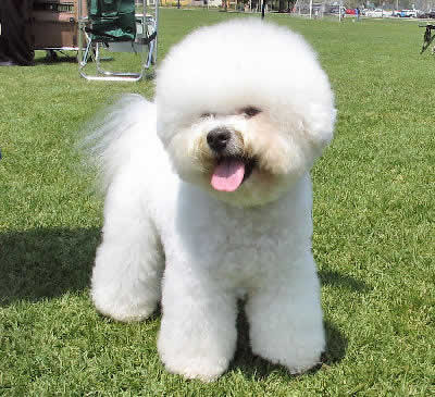 Dog Wallpapers Album: Bichon Frise Dog Photos