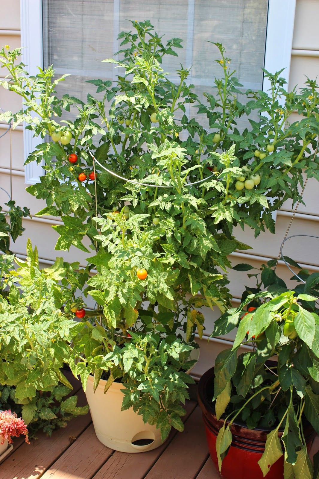 Picture of a cherry tomato plant in a grey pot in front of a window