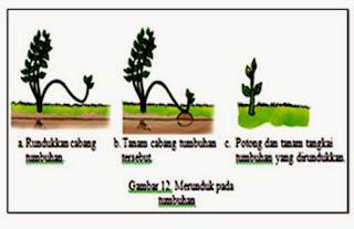 Cara Melakukan Vegetatif Buatan : Merunduk
