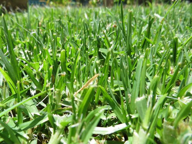 Fotografia de Erva ou Relva do tipo Grama em jardim ao sol