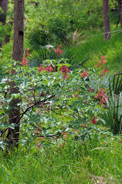Red Buckeye, Aesculus pavia var. pavia