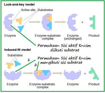 BIOLOGI ASIK: ENZIM