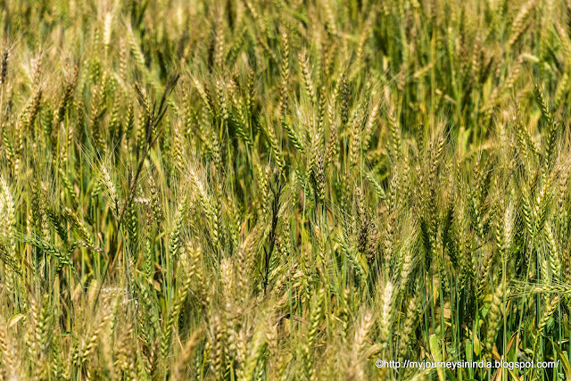 Wheat Field Rajasthan
