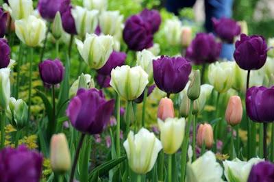 hoa tulip 10