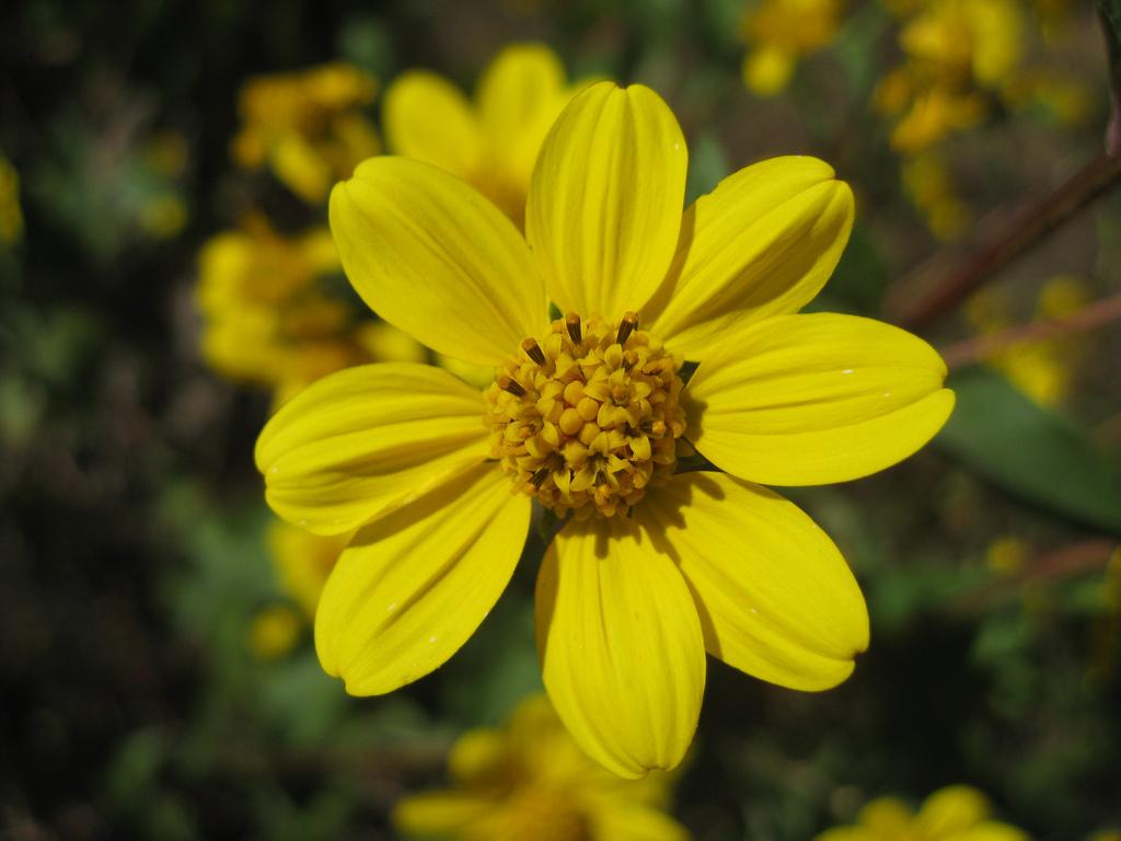 Botany Without Borders Tajonal The Secret Mayan Plant