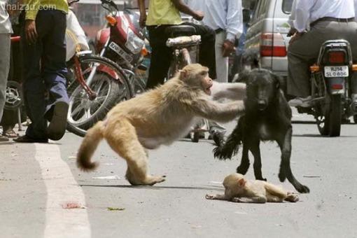 Cerita Motivasi - Kasih Ibu Sang Monyet