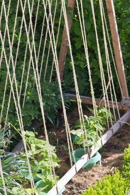 Verschiedene Sorten Stangenbohnen klettern schon an den Seilen der Bohnenstangen hoch