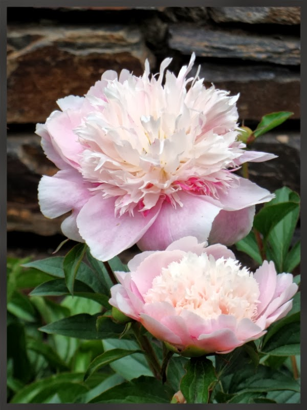 Pink Peonies #photography #peonies #flowers