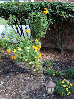 Orange and Yellow African Marigolds at 49 Inches